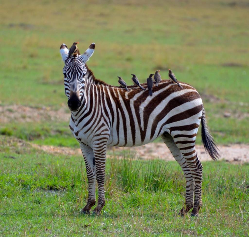 zèbre dans le parc national de Kruger